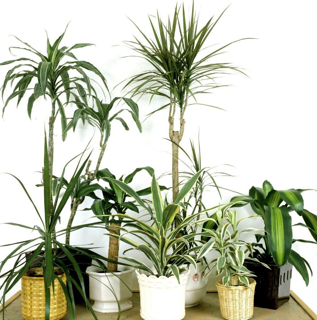Des variétés de Dragonnier. | Source : Jardinage – Ooreka