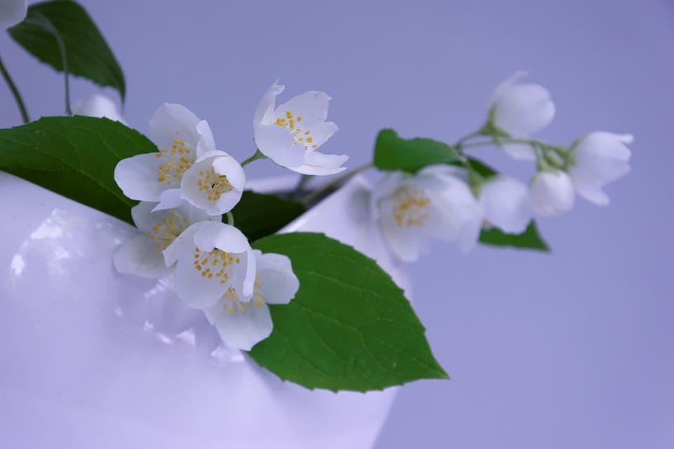 Des fleurs de Jasmin. | Source : Pixabay