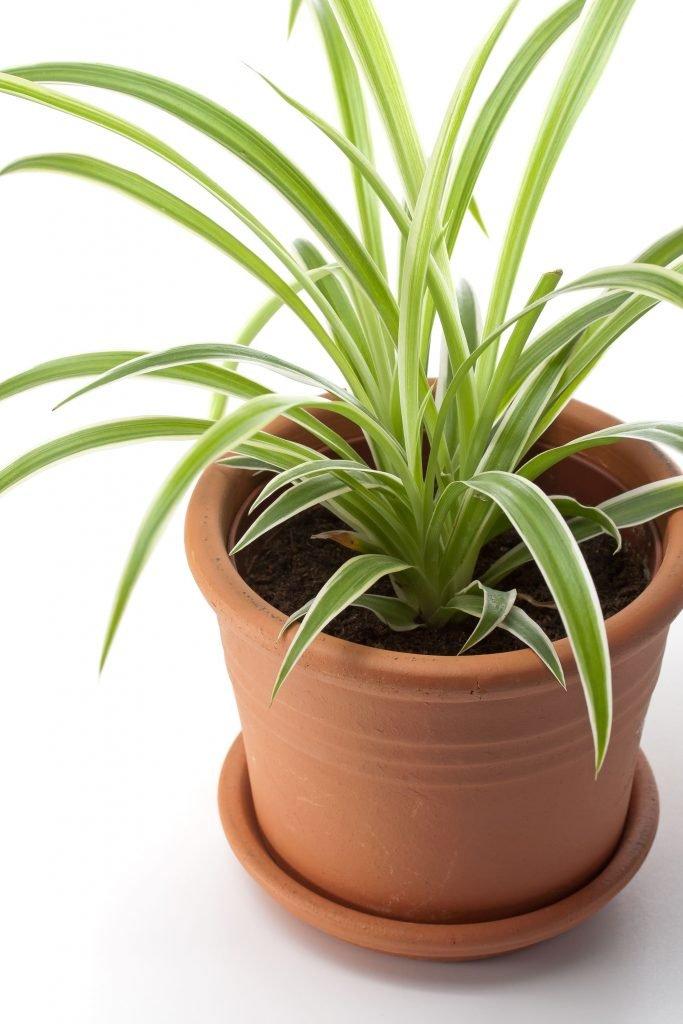 Chlorophytum , plante d'intérieur. | Source : Jardinage – Ooreka